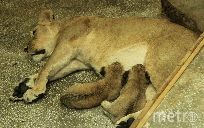 Львята из Екатеринбургского зоопарка. Фото Предоставлено зоопарком. Уварова Екатерина