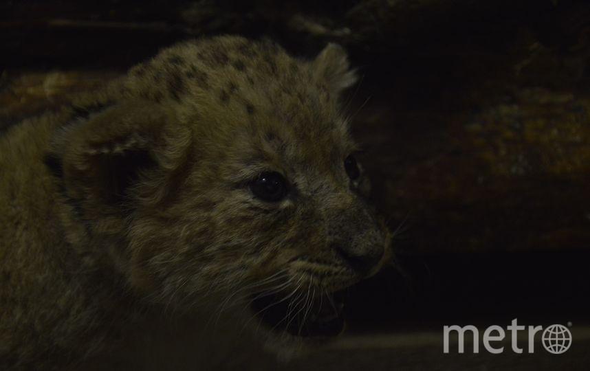 Львята из Екатеринбургского зоопарка. Фото Предоставлено зоопарком. Пермяков Игорь