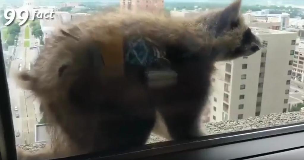 Енот возомнил себя человеком-пауком и взобрался на небоскреб по стене: Видео. Фото Скриншот Youtube