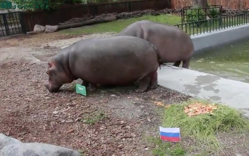 Бегемоты Калининградского зоопарка. Фото vk.com/kldzoo, Скриншот Youtube