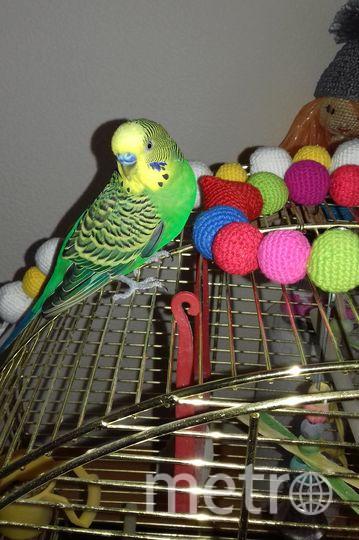 """Центре Развития Речи """"Говоруша"""" вот уже два года живет наш талисман, волнистый попугай, зовут его Говоруша! Приходя к нам, дети обязательно бегут к нему поздороваться. Говоруша с удовольствием общается с посетителями. В его лексиконе уже более 30 слов!. Фото Администратор ЦРР """"Говоруша"""" Инна."""