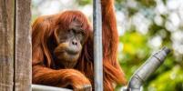 Скончался самый старый в мире орангутан
