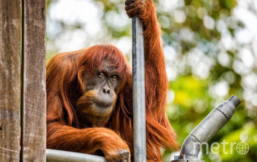 Орангутан Пуан, фото сделано в октябре 2016 года. Фото AFP