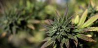 В Канаде легализовали употребление марихуаны