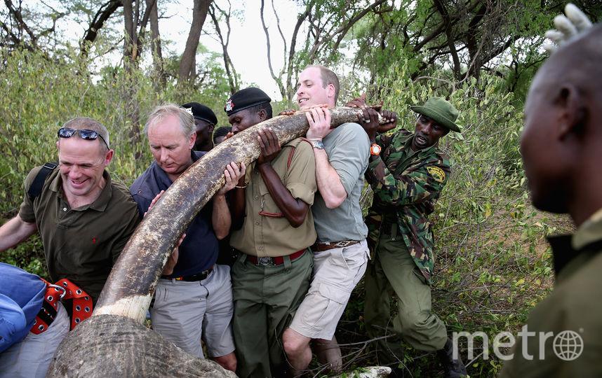 Герцог Кембриджский помогает спасать от браконьеров слона. Фото Getty
