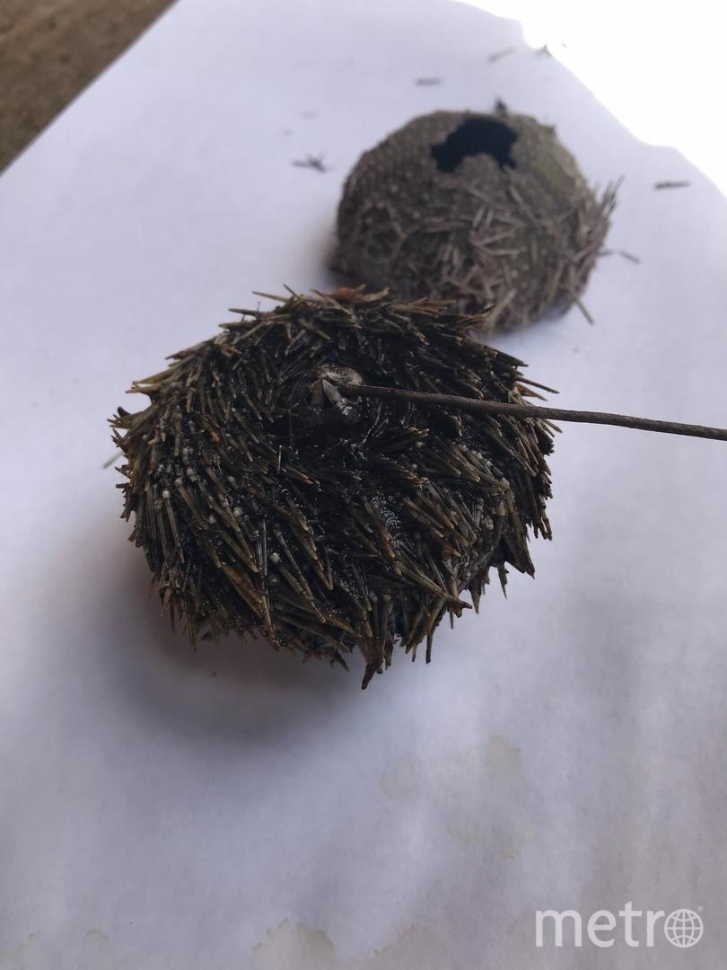 Морских ежей нашли в Выборге. Фото vk.com/vyborg_interesting, vk.com