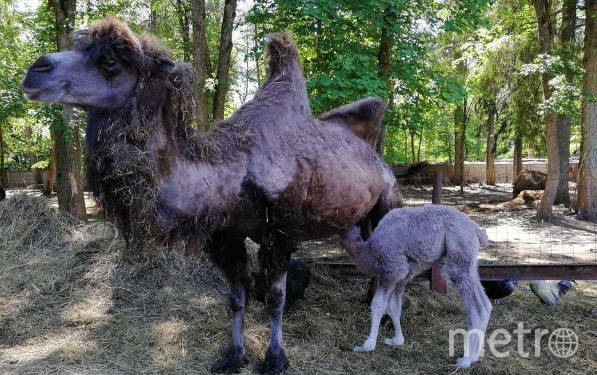 Верблюжонок. Фото из личного архива Геннадия Нетёкина