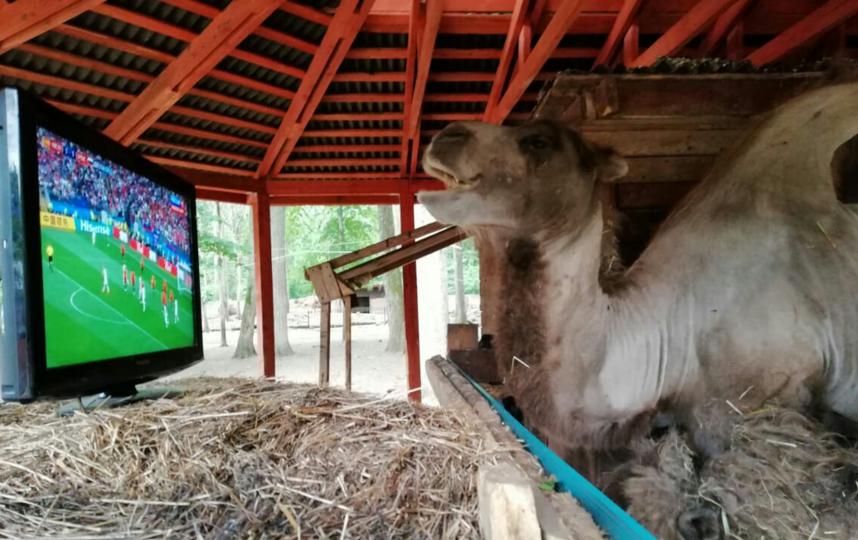 Папа верблюжонка Саламыча смотрит футбол. Фото предоставлено Геннадием Нетёкиным.