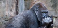 В лондонском зоопарке животных кормят мороженым