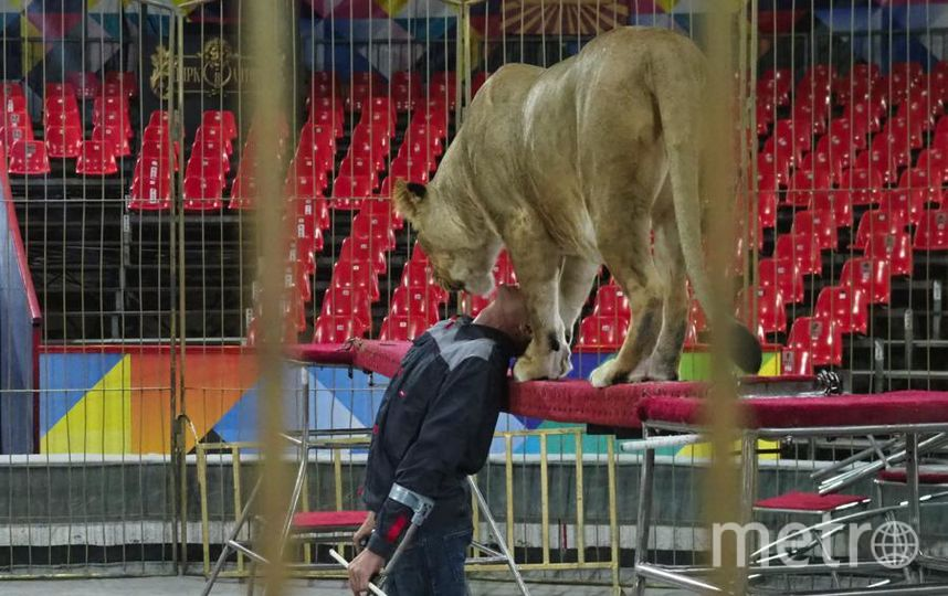 """Виталий Смолянец говорит, что дрессировать львиц гораздо тяжелее, чем львов. Фото Святослав Акимов, """"Metro"""""""