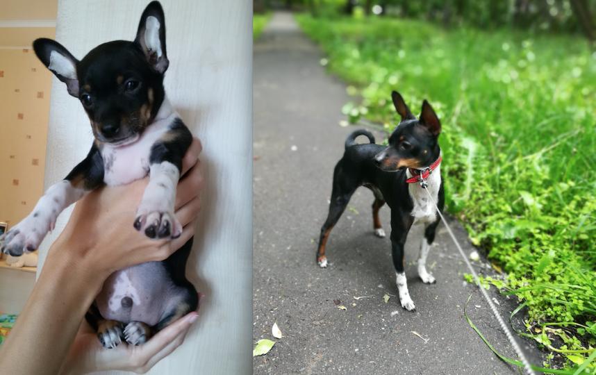 питомецЭто наш любимый пес Басик породы той-терьер. Увидели его фотографию на сайте в интернете. Он нам так понравился, что решили его забрать к себе, хотя покупку собаки в тот момент не планировали. Он добрый и ласковый пес, всех нас любит. Мы его ласково зовем Басенок. Фото Елена