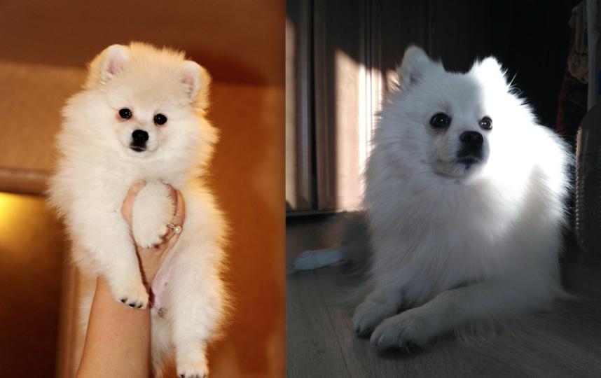 Порода Немецкий шпиц. Кличка Белина-Лина. На первой фотографии 2,5 месяца, на второй 2,5 года. Собака очень игривая и ласковая. Фото Маргарита
