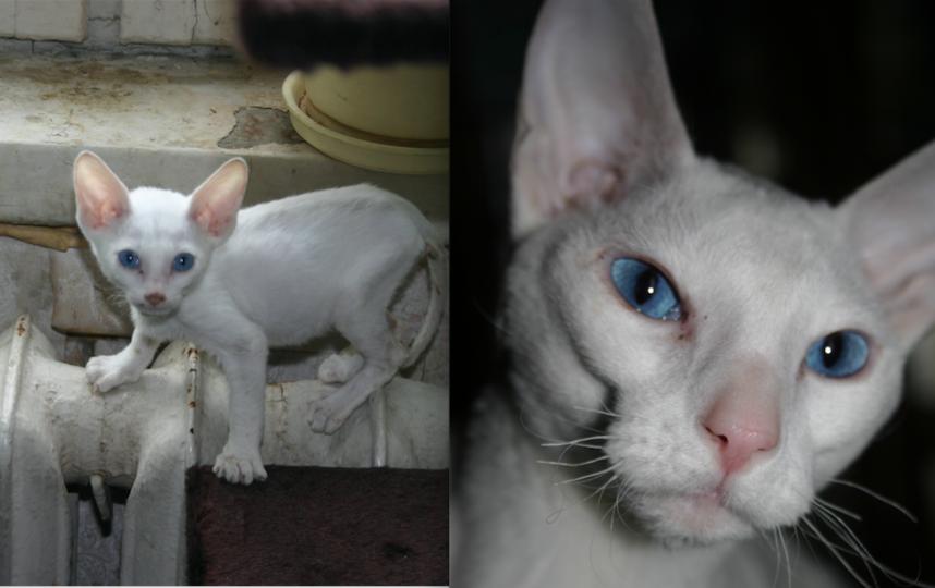Выкладываю фото своей кошки Исиды. Мы ее ласково называем Сидя. Ее порода - Корниш-рекс. Фото Вадим
