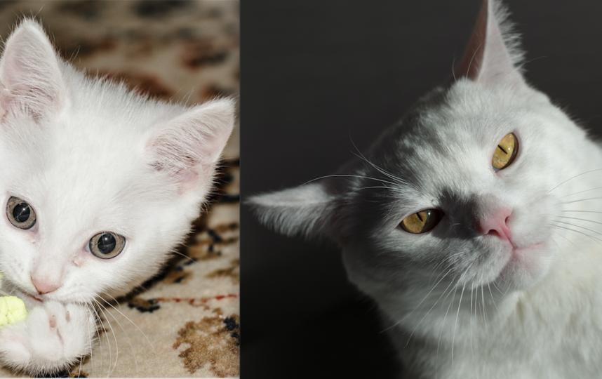 Кот Пушок. Был маленьким, беленьким, пушистым котенком (2 месяца), а сейчас (1 год 8 месяцев) Ярл Пушок не влезает в объектив фотоаппарата))) и не потому что он растолстел, просто он хищник и его трудно поймать. Фото Максим