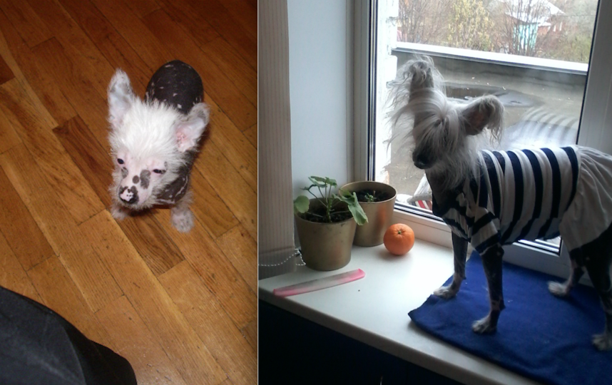 Это наша любимица Мила. На первом фото ей 2 месяца, на втором фото уже повзрослевшая. Из гадкого утёнка превратилась в царевну-лебедь. Фото Инна