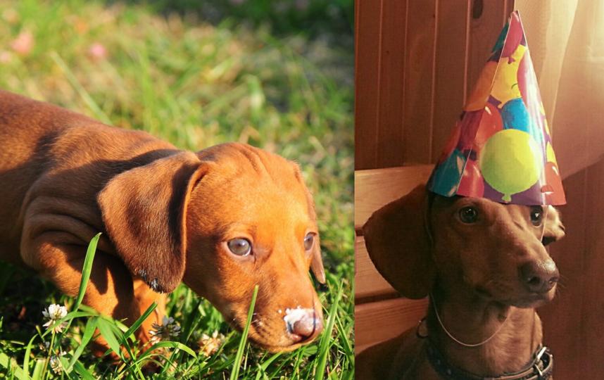 Это Татоша.Подарок сыну на День рождения .На первом снимке ему месяц,а на втором 6 лет.Милый,ласковый пес. Фото Оксана