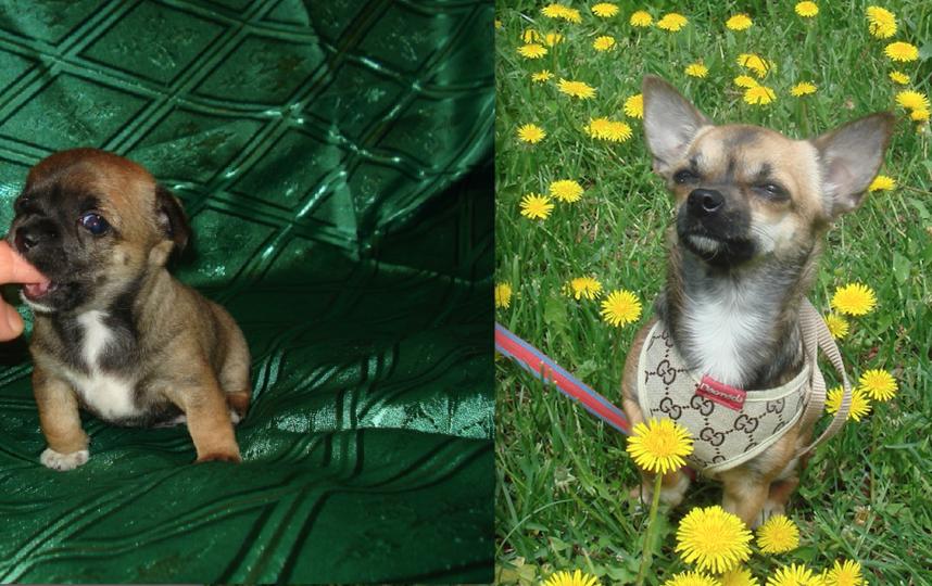 """Рашель ( порода чихуа-хуа). На первом снимки ей всего месяц ( по этой фотографии мы её и выбирали), а на второй фотографии ей 2 года ( она уже умеет выполнять команду """"сидеть""""). Фото Ирина"""