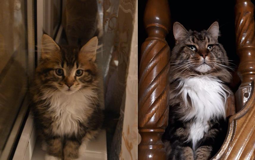 Это наш любимый Мирон. Несмотря на серьезный вид, это самый добрый на свете кот. На первой фотографии ему 2 месяца, на второй 2 года. За два года пушистое чудо ВЫРОСЛО до 8 кг 100 гр. Фото Светлана