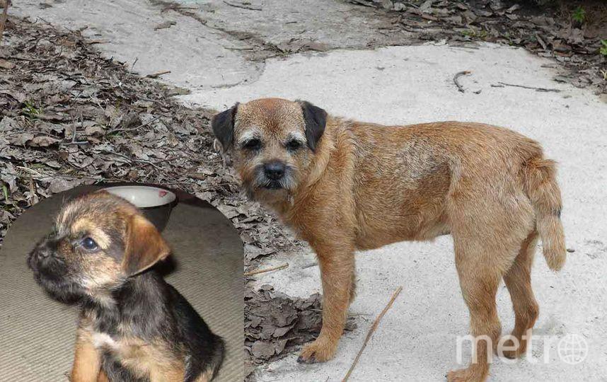 Наша любимая собака Джулия,породы бордер терьер. Разница в снимках 8 лет. Фото Андрей
