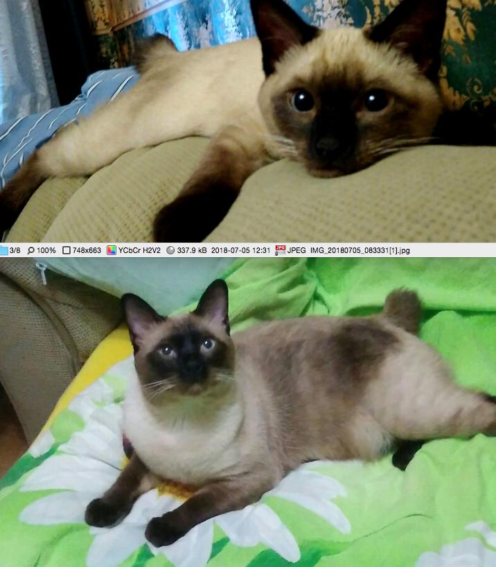 На первом фото 3 месяца, на втором 1 год 1 месяц. Порода мекогонский бобтейл. Кличка Марс. Фото Счастливцева Елена