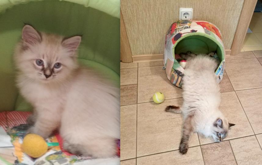 Нашего котика зовут Гучик, порода Невская маскарадная, в августе день рождения, исполняется 1 год! Обожаем своего котика- очень умный, ласковый и порядочный, а ещё красавец редкостный! Фото Попова Антонина