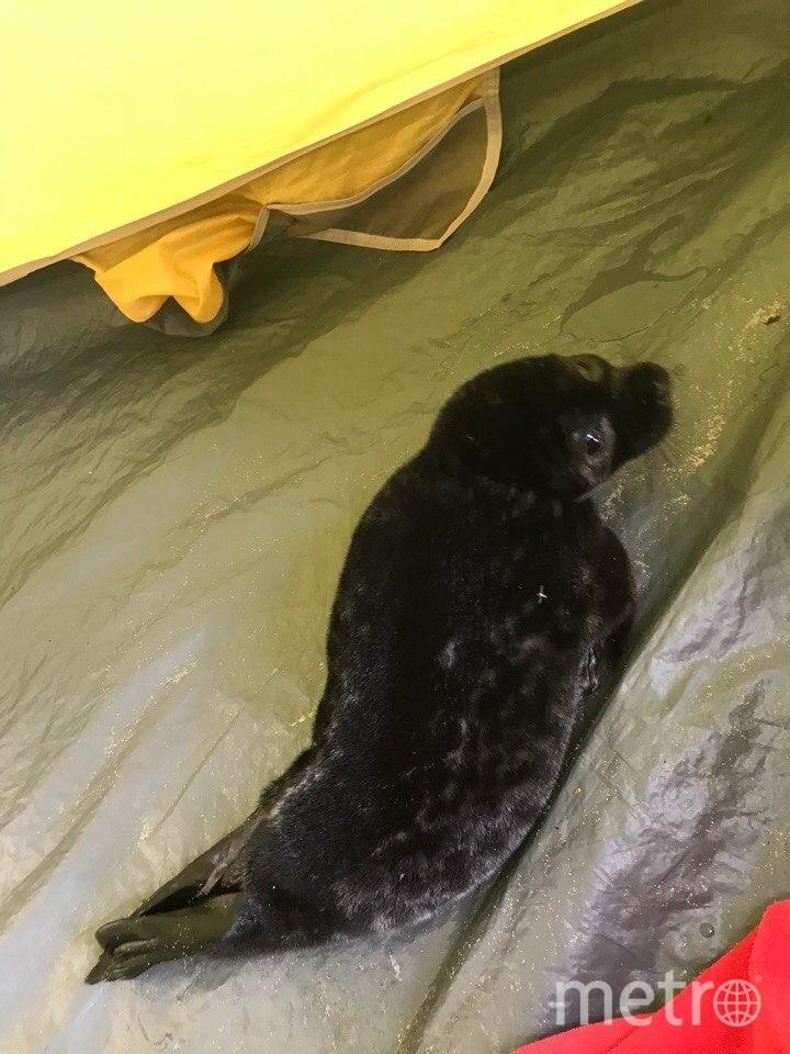 Таким нерпёнок был найден 5 июня. Фото vk.com/sealrescue, vk.com