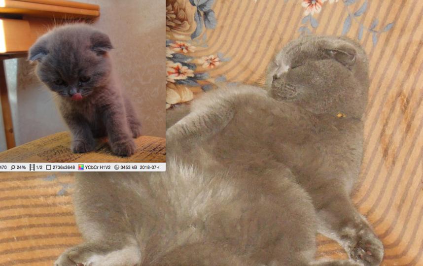 На первом фото возраст 2,5 мес, на втором 1 год 8 мес. Порода: скотиш фолд (окрас серебристый песец). Кличка: ДеЛуффи (зовём Луффиком). Возраст: 28 июня исполнилось 2 года. Фото Смирнова Дарья
