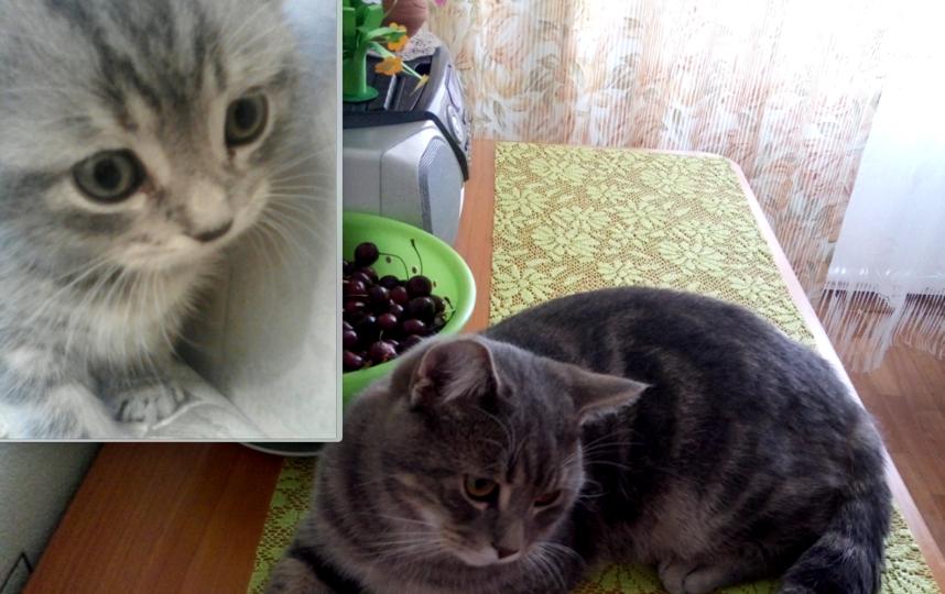 На фотографиях мой любимец - кот Ричард, он британец, сейчас ему 10 месяцев. Из 1.5-месячного крошки Ричард превратился в увесистого взрослого кота, но остался таким же милым и игривым. Фото Кузьменко Ирина