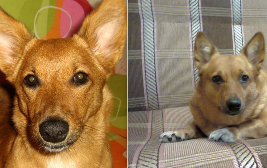 Это наша собачка Зося. На первом снимке ей всего 1 годик, на втором - 8 лет. С возрастом из шаловливого щенка-непоседы, грызущего обувь, косметику, фломастеры, она превратилась в степенную, уверенную в себе даму с позитивными взглядами на жизнь!. Фото Мамаева Екатерина Владимировна