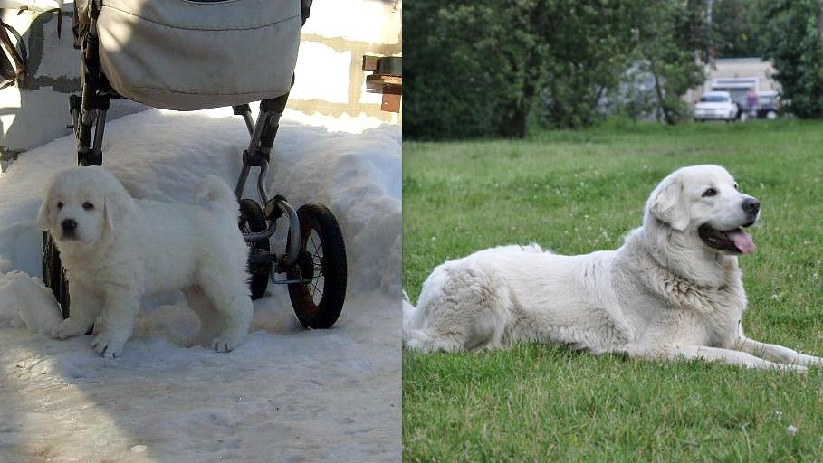 Кьяра Полярная. Звезда Подгалянская овчарка в 2 месяца и 5 лет.