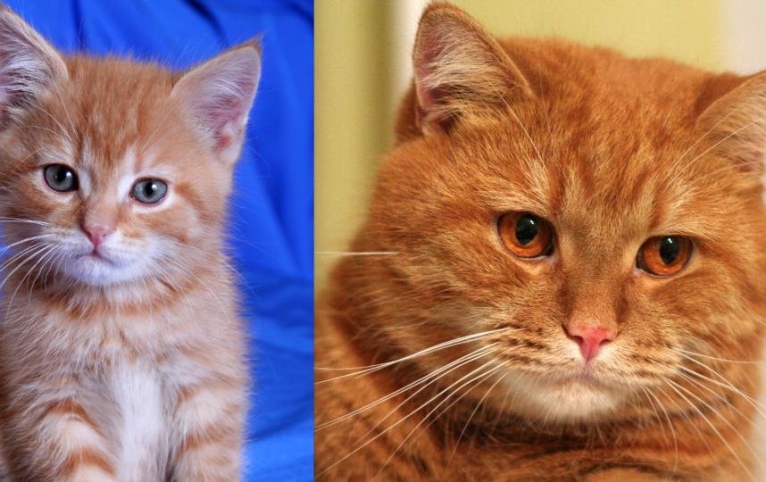 наш кот Рыжик, нечистокровный шотландец прямоухий, сейчас ему 8 лет. Фото Людмила Ткаченко