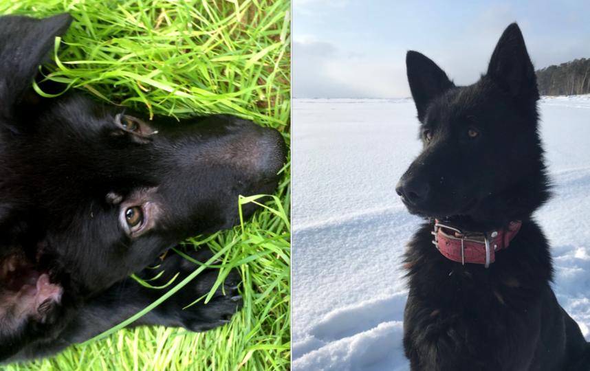 Собака: порода: ВЕО (восточно-европейская овчарка) кличка: ЭЛЛИ возраст: 2 года.. Фото Текутьев Юрий
