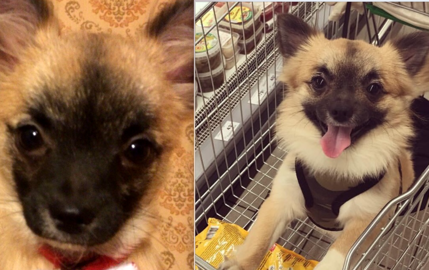 Порода нашего пса: метис (чихуахуа и померанский шпиц, вот такое неожиданное сочетание), Возраст: 3 года, А его имя: Марсель. На первом фото ему 5 месяцев, на втором -3 года;. Фото Шмелева Татьяна