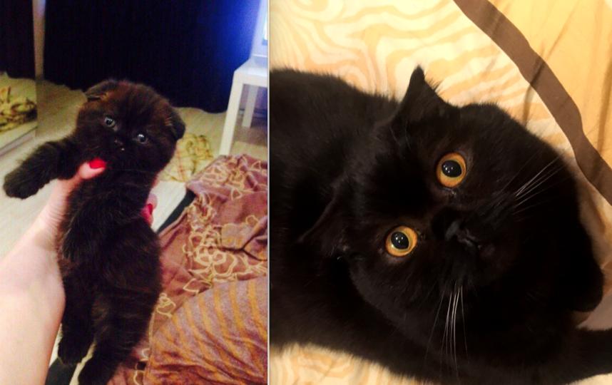 Кличка Саймон 2,5 года. Вислоухий шотландский кот. Фото Рудницкая Евгения Александровна