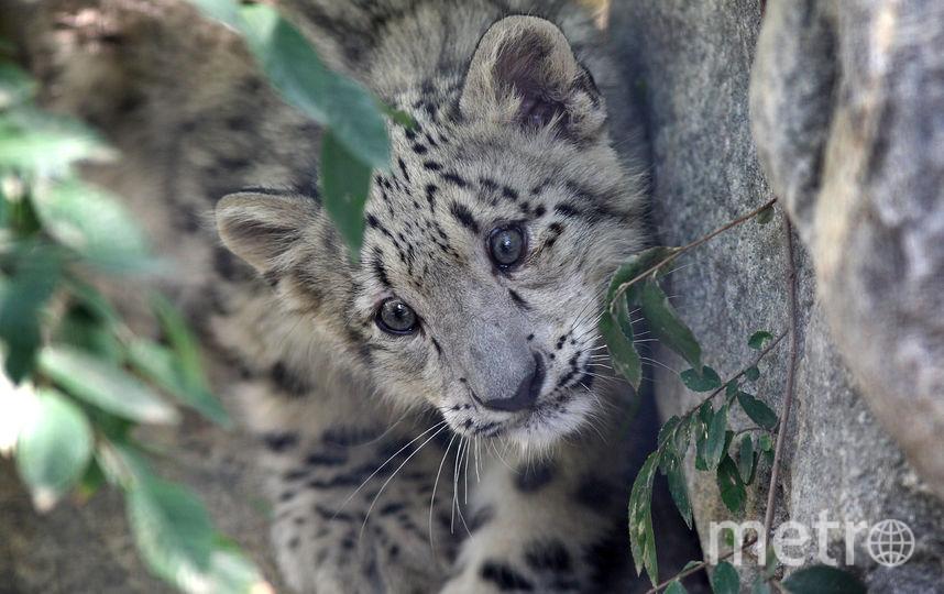 Детёныш леопарда. Фото Getty
