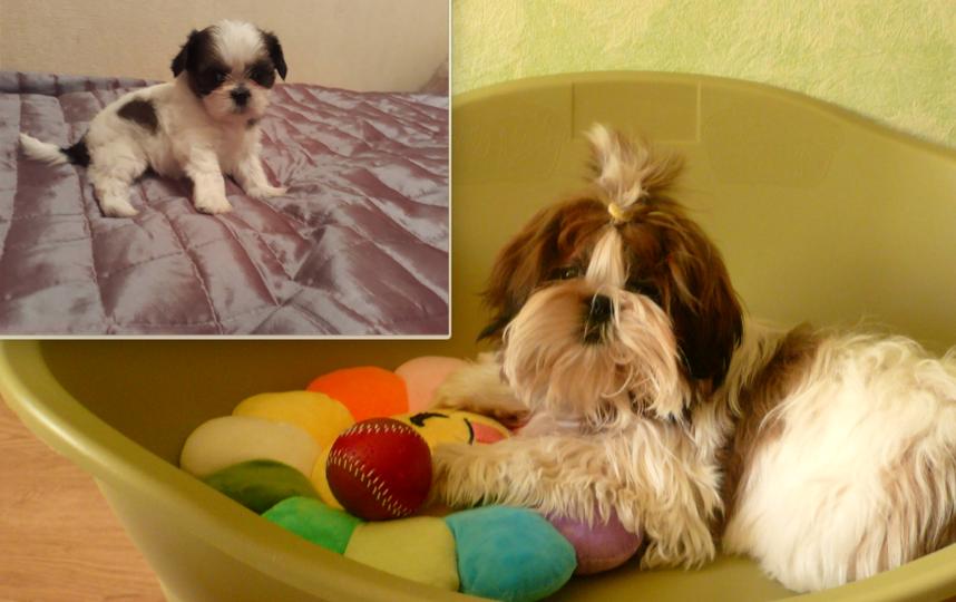 щенок ши-тцу Гарик . на фото ему 2 месяца и 6 месяцев. Фото Никандрова Ирина Михайловна