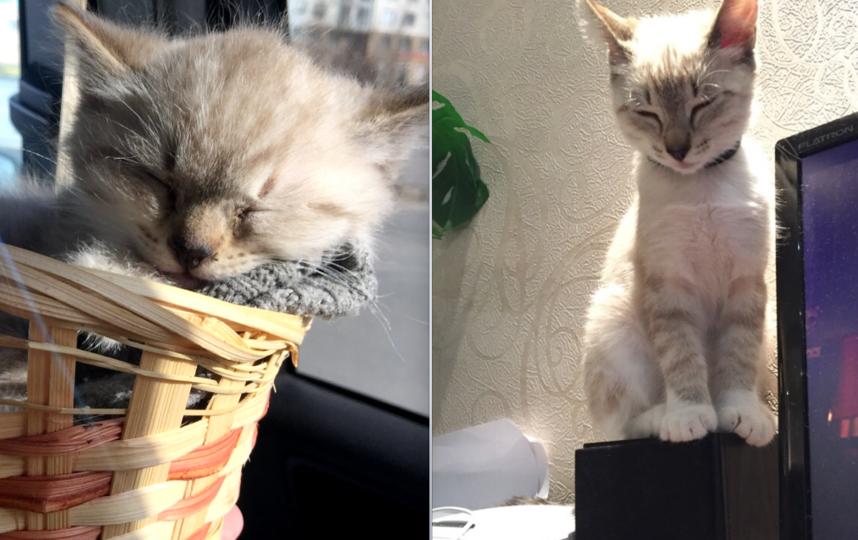 Растёт Каспер! Котенок с полным отсутствием страха! Найден на стройке. (Беспородный). Сейчас ему примерно 4 месяца.. Фото Соколовская Елена