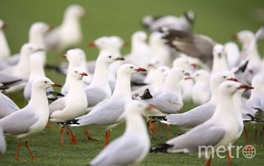 Чайки. Фото Getty