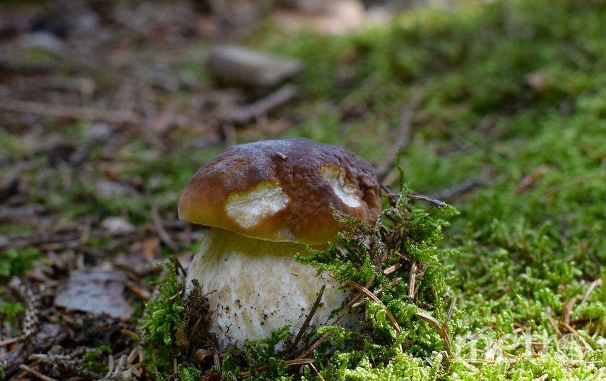 Белый гриб или боровик. Фото Pixabay