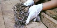 Московский зоопарк впервые показал котят дикого дальневосточного леопарда