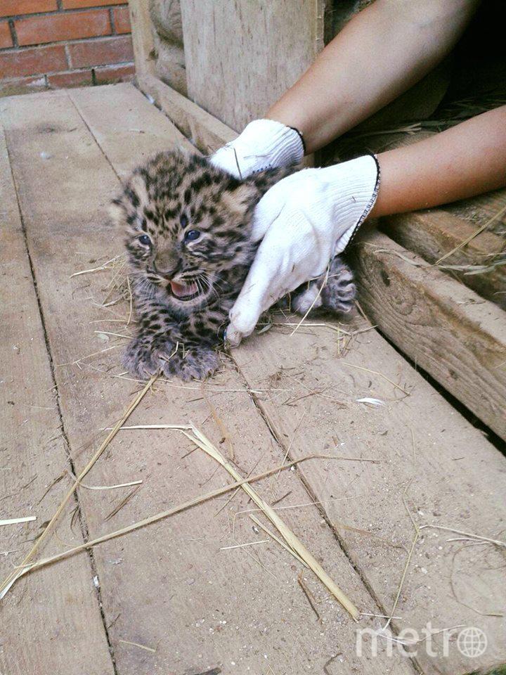 Котята дальневосточного леопарда. Фото www.facebook.com/MoscowZoo