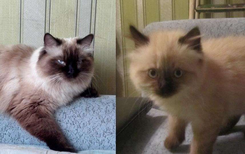 Это наша кошечка Фелисита, нечистокровная Невская маскарадная. На первом фото 1,5 месяца, на втором 1,5 года. Обожает лежать на этом диване в ожидании, что к ней кто-нибудь присоединится.. Фото ОЛЬГА СЫЧЕВА