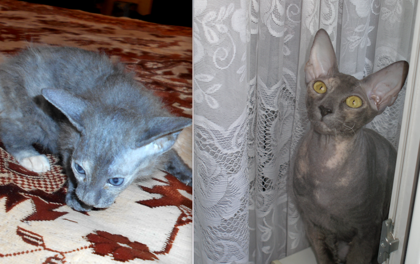 петербургский сфинкс , 3 месяца сейчас ей 3 года , кличка Риччи. Фото Летуновская Светлана