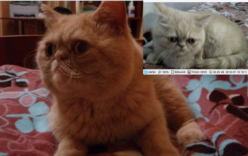 Наш кот сэр Уинстон Тайлер III (Уинс), помесь экзотической и персидской кошки, на первом фото ему 4,5 месяца, а сейчас уже 3 года.. Фото Макеева Варвара