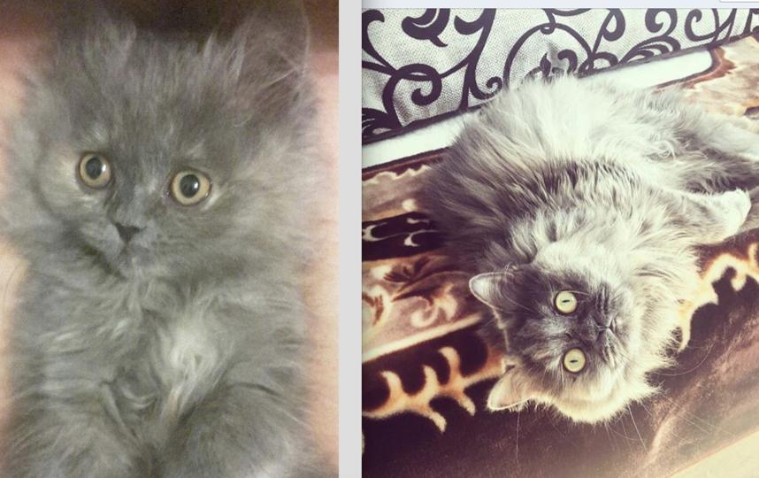 Это наша персидская кошка Шери-Маркиза или просто Орешек. Ей уже 4 года и все эти четыре года она - душа нашей семьи! . Фото Евгений Спиридонов