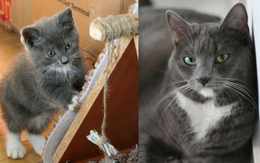 """Кошка Тёма серьёзная дама. Её папа """"джентльмен"""" британской породы. В свои 5 лет она знает толк в кошачьих манерах. Евгений Галаев."""