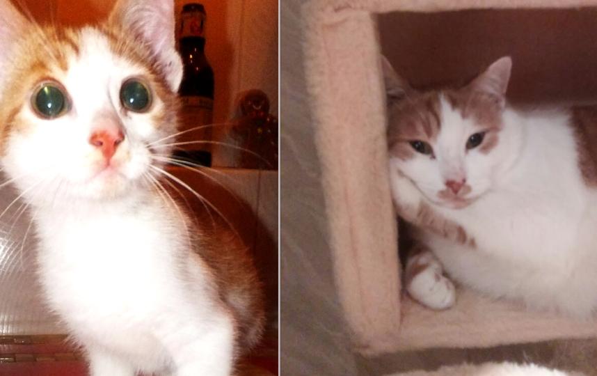 Кот Жюльен, Подобрали на улице истощенным котенком и вот что выросло. Фото Масалева Наталия Алексеевна