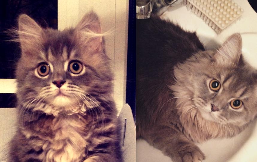 Наш кот Патрик длинношерстный шотландец растет в сильного кота, сейчас ему 2 года. Фото Ширенко Ксения