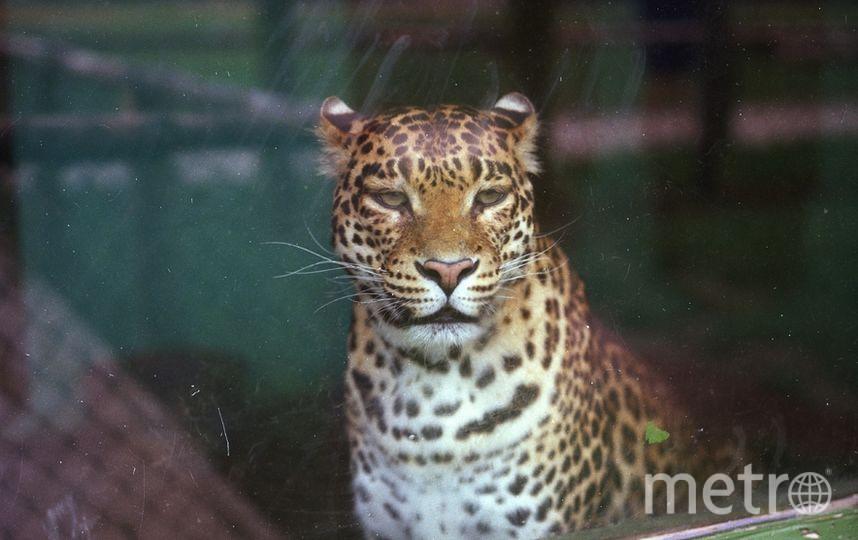 Каким образом ягуар смог покинуть вольер, до сих пор неясно. Фото Getty