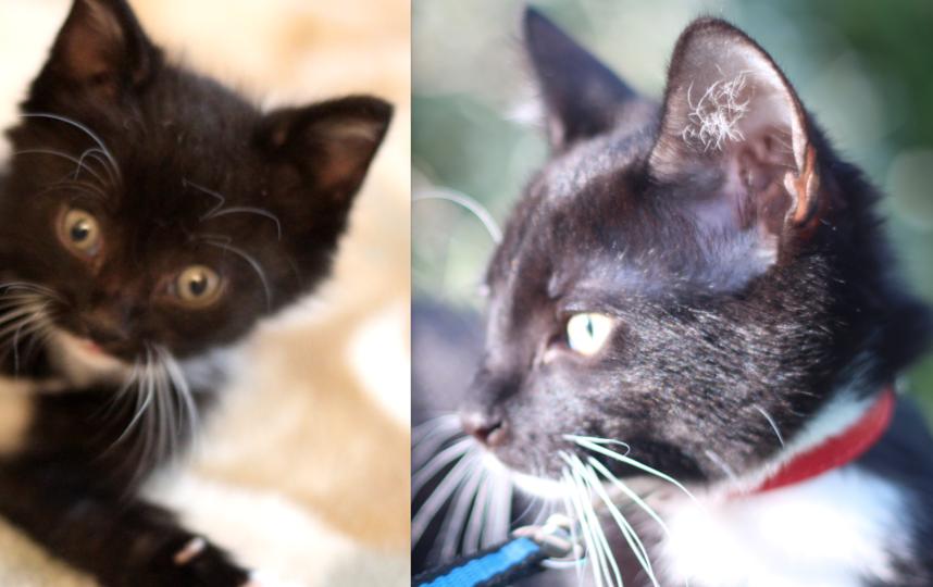 Декстер, возраст 6 месяцев. Первое фото: первый день дома (мы взяли бездомного котенка), второе фото - сейчас. Фото Пикалева Юлия Викторовна